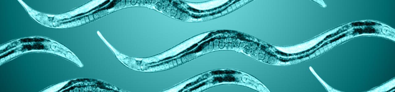 image of C. elegans