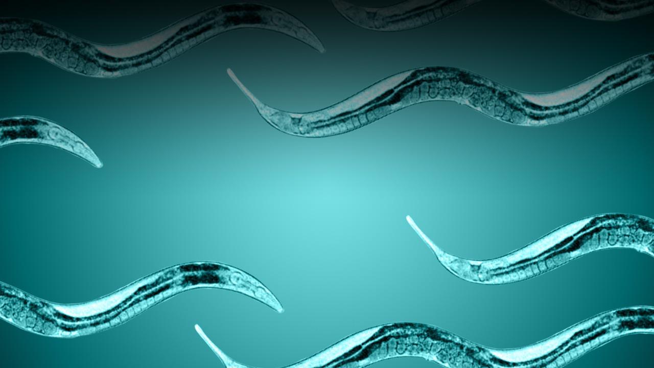 wildtype C. elegans worms
