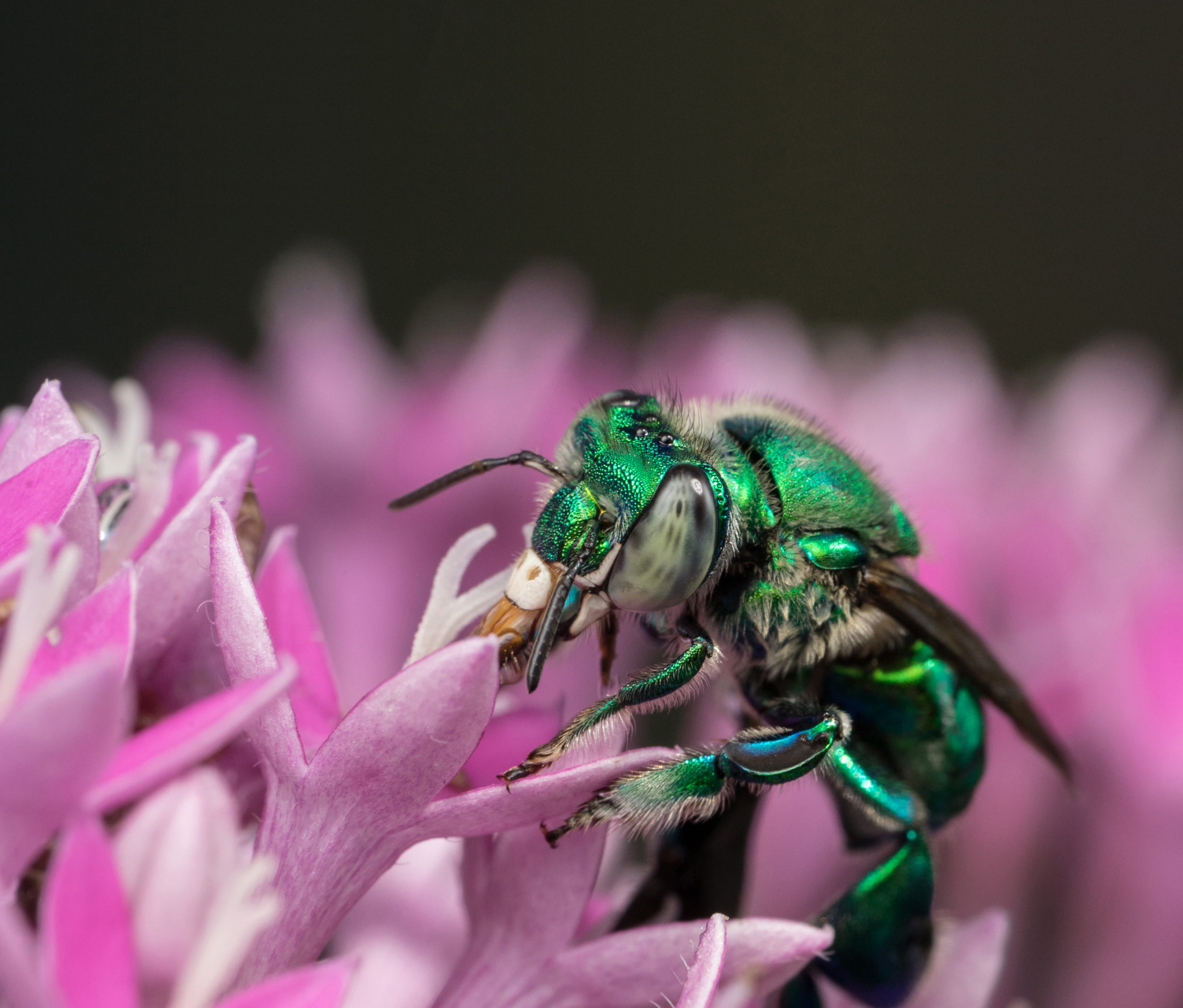 Green orchid bee drinking nectar out of a pink flower